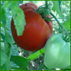 Have you ever wanted to grow a world record giant tomato in your tomato patch? We can help with our selection of our largest tomato seeds. Grow your own Huge Giant Tomatoes with our giant heirloom tomato seeds, including varieties like Jerry's German Giant Tomato, Giant Belgian Tomatoes, Omar's Lebanese Tomatoes, Sunset's Red Horizon Tomatoes, Rostova Tomatoes and others. How big of a tomato can YOU grow?!